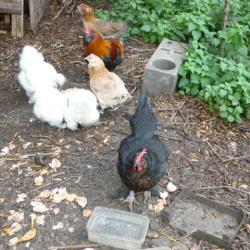 Des poules au milieu de la ville !