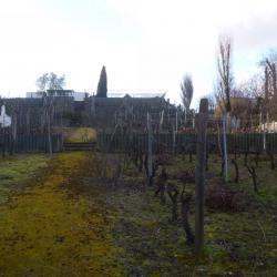 Pied de vigne à Suresnes