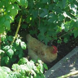 La Poule a peur de Pâques !
