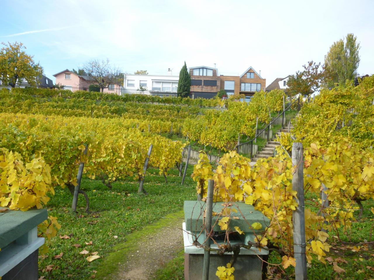 Visite-rencontre avec Guillaume à la vigne de Suresnes 27/10/2015