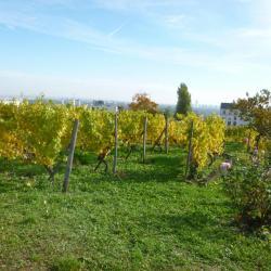 Les vignes après la récolte